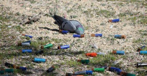 Paloma muerta por tiro al pichón. Foto: 'Mis amigas las palomas'.